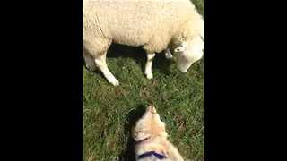 Doggy and Sheep Bond Over Mutual Cuteness - Video