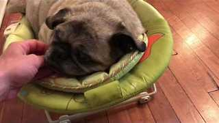 Cute Pug Still Thinks He is the Baby in the Family - Video