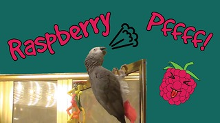 Einstein the Parrot likes to blow raspberries!
