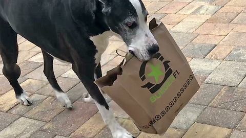 Happy Great Dane Loves to Carry Burger Fi Foodie Lunch to her Katie Cave