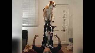 Daring Dogs Show Off Their Acrobatic Skills - Video
