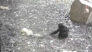 Cute baby gorilla delights visitors at Kansas City Zoo