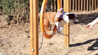 English Bulldog exceeds dog agility course expectations