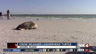 Loggerhead Sea Turtle released by CROW - Video