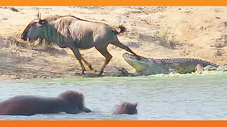 Fearless Hippo Rescues Wildebeest From Deadly Crocodile - Video