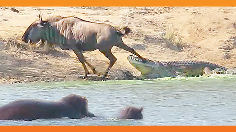 Fearless Hippo Rescues Wildebeest From Deadly Crocodile
