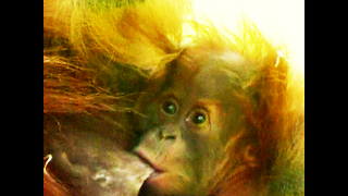 TEENY TINY Baby Orangutan - Video