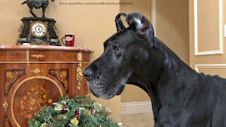 Great Dane Watches Curious Cat Tunnel Through Wreaths