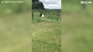 Guy helps sheep trapped in fence