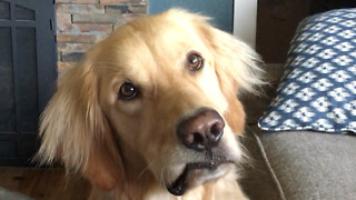 Golden Retriever head-tilts when asked to go swimming - Video