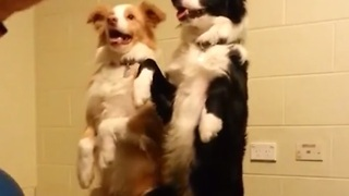 "Dogs perform ""bang trick"" simultaneously"