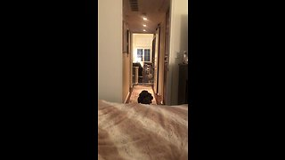 Determined Dog Finds A Way To Jump Onto The Bed