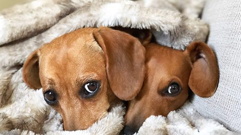 You're the wiener for me! Adorable dachshund couple's viral romance restored owner's faith in true love