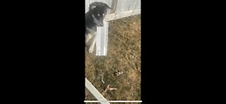 Husky puppy eats siding