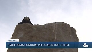 World Center for Birds of Prey takes California Condors from evacuated zoo