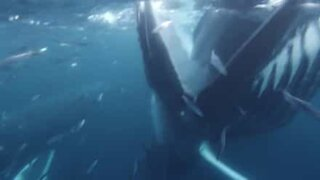 Diver almost swallowed up whole by humpback whale!