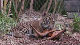 Tiger Cubs Make Themselves at Home at San Diego Zoo's Safari Park - Video