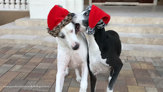 Funny Senior Great Dane Siblings Argue Over Christmas Hats  - Video