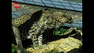 3-Legged Leopard Finds Romance - Video