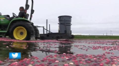 Great Outdoors: Cranberry Harvest Season