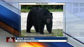 Large bear spotted in Golden Gate Estates - Video