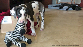 Great Dane Naps While Puppy Has Fun With Toys  - Video