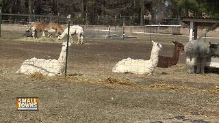 Small Towns: Magic Willows Alpaca Farm