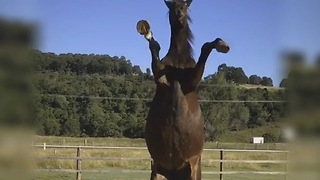 Talented horse demonstrates variety of tricks - Video