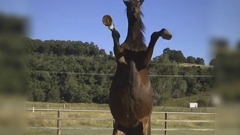 Talented horse demonstrates variety of tricks