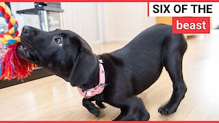 Puppy born with six legs named after kangaroo