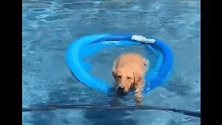 Pup Stays Cool in Owner's Pool