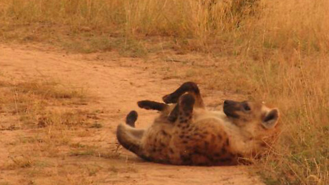 Spotted hyena performs his amusing back scratch maneuver