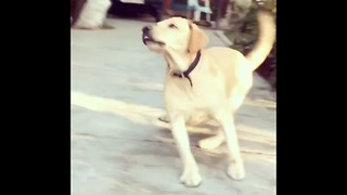 Dog thought it's a ball. Owner tricked him with lemon  - Video
