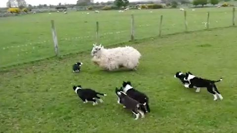 Not baa-d! Fearless seven-week-old puppies herd sheep during 'first day at school'