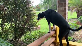Hungry Great Dane makes big reach to eat tasty leaves