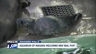 The Aquarium of Niagara welcomes new seal pup - Video