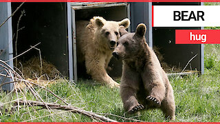 Heartwarming moment brown bear and two cubs released into wild after a decade in captivity