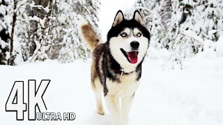 Winter Wildlife 4K Animal Documentary🐺❄️Arctic Wolves, Foxes and More | 4K UHD TV Screensaver