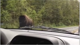 Angry Yellowstone Bison Use Road As Runway Causing Traffic Jam - Video