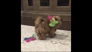 Shih tzu puppy plays in circles with squeaky toy - Video