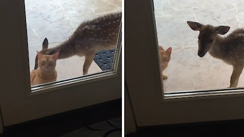 Wet kitty gets a bath from rescued fawn