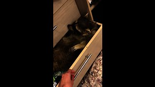 Messy raccoon hides in closet