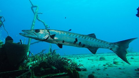 Giant barracuda startles scuba diver on sunken Russian warship