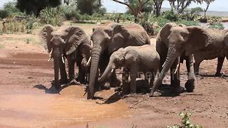 Elephant mothers lead adorable babies to drink at watering hole in Kenya - Video