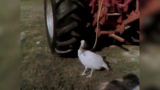 In 1973, people raced turkeys before Thanksgiving - Video