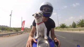 Dog loves to go on motorcycle rides with his owner