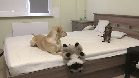 Dachshund Loses His Marbles When Allowed To Play On The Bed