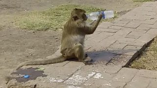 Sneaky Temple Monkey Steals Bottle Of Water From Unsuspecting Tourist - Video