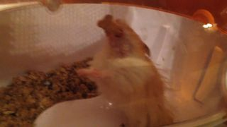 Hamster VS Graham Cracker - Video