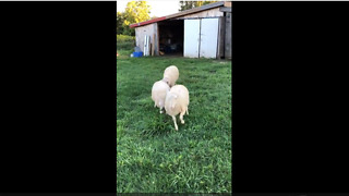 Hilarious sheep show off their playful side - Video